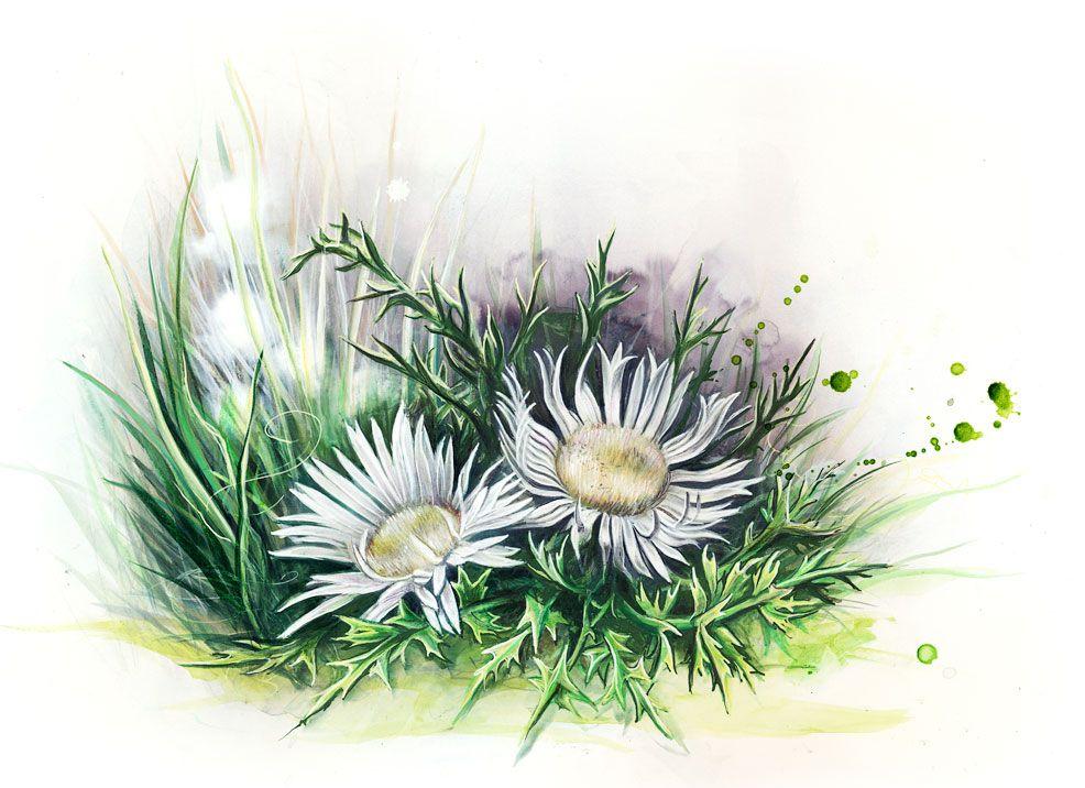 Silberdistel carline thistle | Alpenblumen, Blumen, Pflanzenwelt