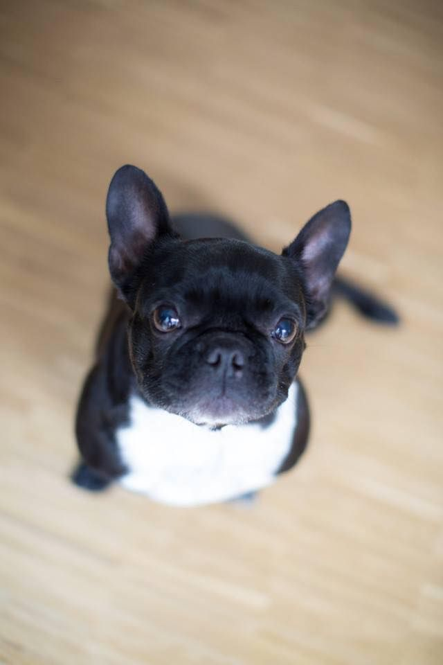 25 Adorable French Bulldogs We Just Want To Squeeze And You Will Too Cute French Bulldog French Bulldog French Bulldog Puppies