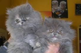 Risultati immagini per gatti persiani