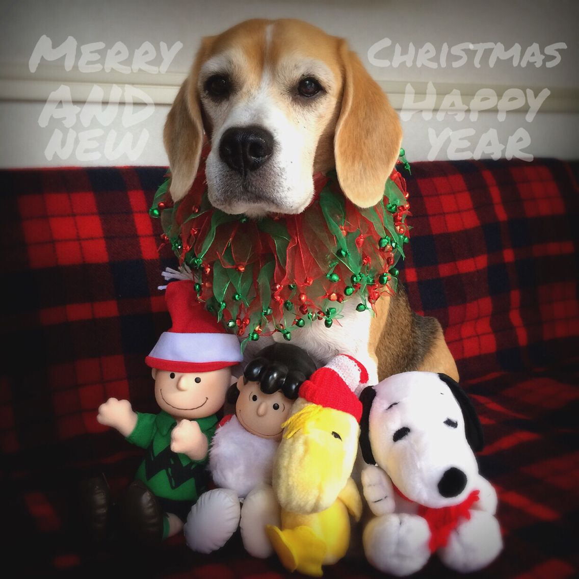 Best Snoopy Beagle Beagle Adorable Dog - 761d9387c90b26fbf48d1fb0c94a3025  Picture_211092  .jpg