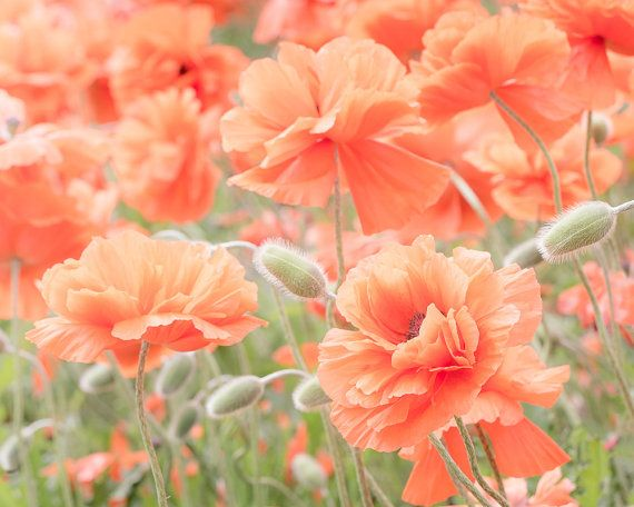 Poppy Flowers Poppies Photograph Romantic Floral Art Peach Wall Decor Orange Poppies Floral Wall Art Flower Canvas Art Floral Prints Art Flower Wall Art