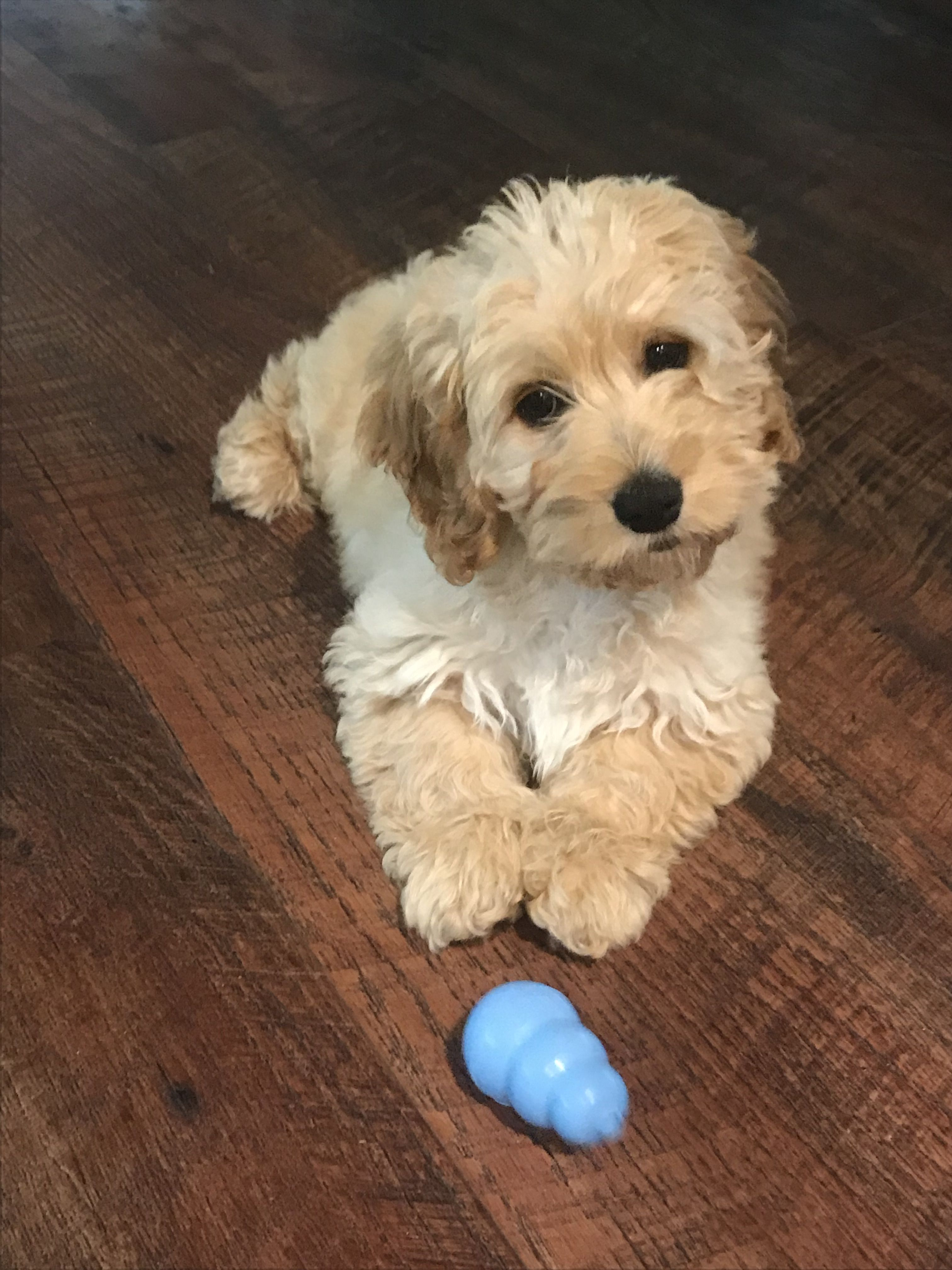 Tidbits For Puppy Parenting Puppies Puppy Training Classes New