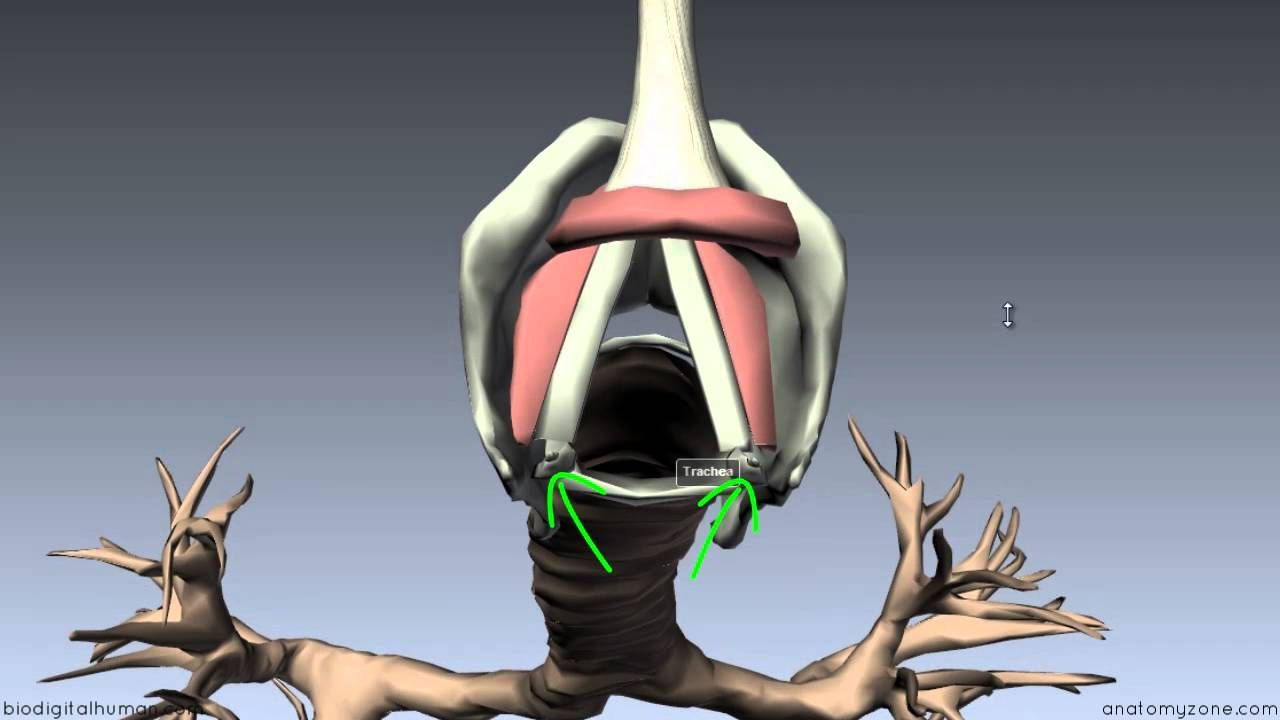 Larynx - Ligaments, Membranes, Vocal Cords - 3D Anatomy Tutorial ...