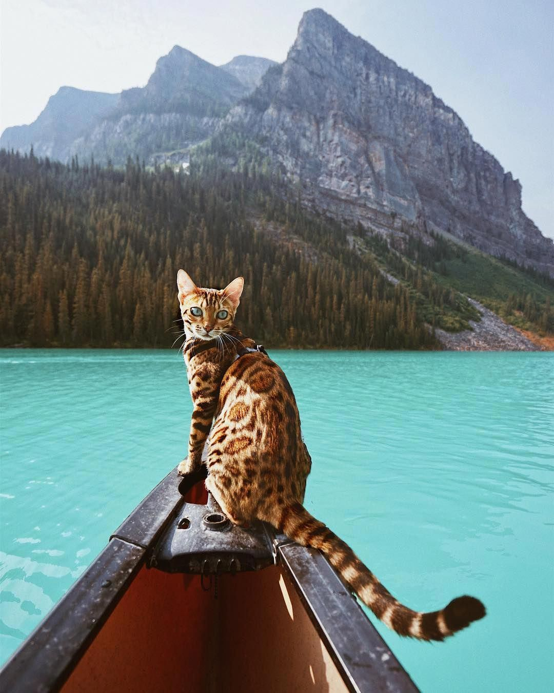 Cats Craigslist Catsyellow Beautiful Cats Pictures Bengal Cat Adventure Cat