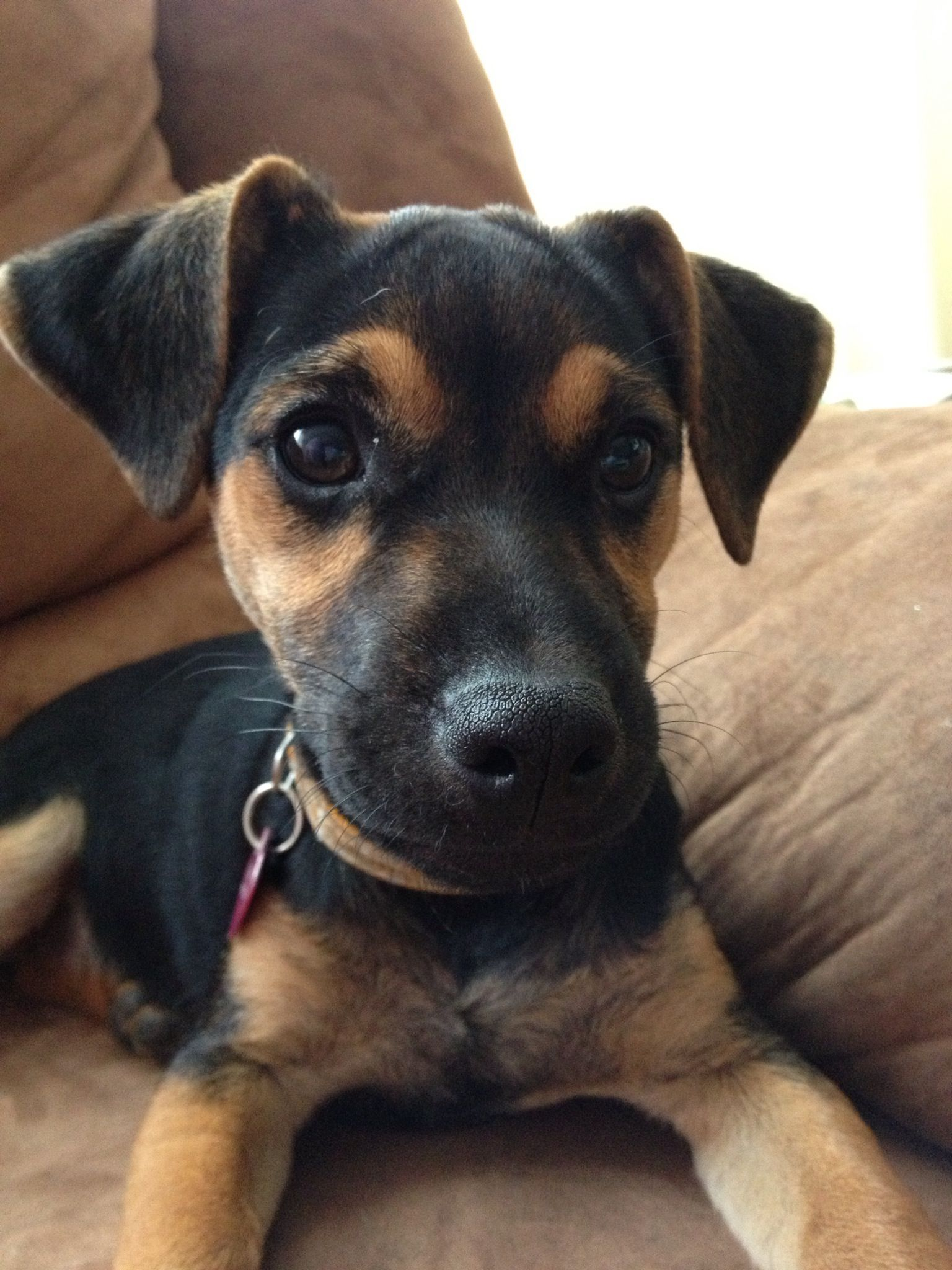 Black and tan jack russell cross chihuahua in 2020 jack