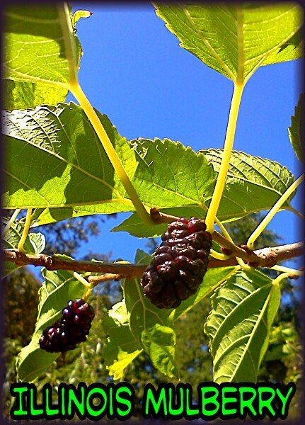 Illinois everbearing mulberry tree growing productive in northern illinois everbearing mulberry tree growing productive in northern california june september via jolynn k sciox Image collections