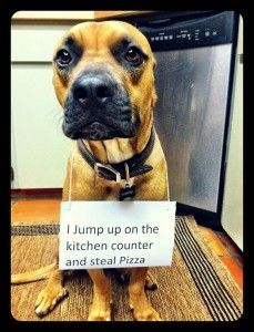 I Jump On The Kitchen Counter And Steal Pizza Dog Shaming