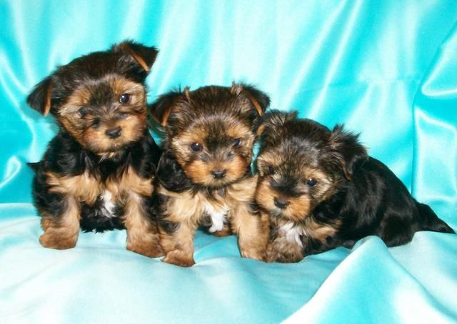 Pin by www PersonallyPaws com on We Love Biewers   Yorkie