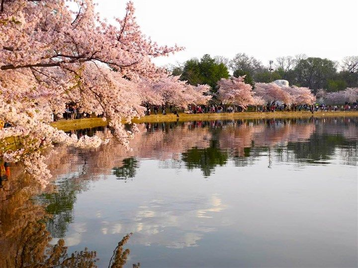 15 Things Nobody Tells You About Visiting Washington D C 15 Things Whitehouse Uscapitol Breakingnews Cherry Blossom Festival Tourism Cherry Blossom