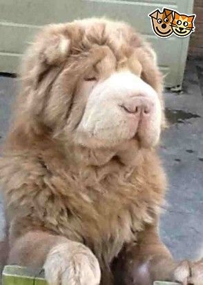 Bearcoat Shar Pei Puppies Aall Pups Now Rederved Shar Pei