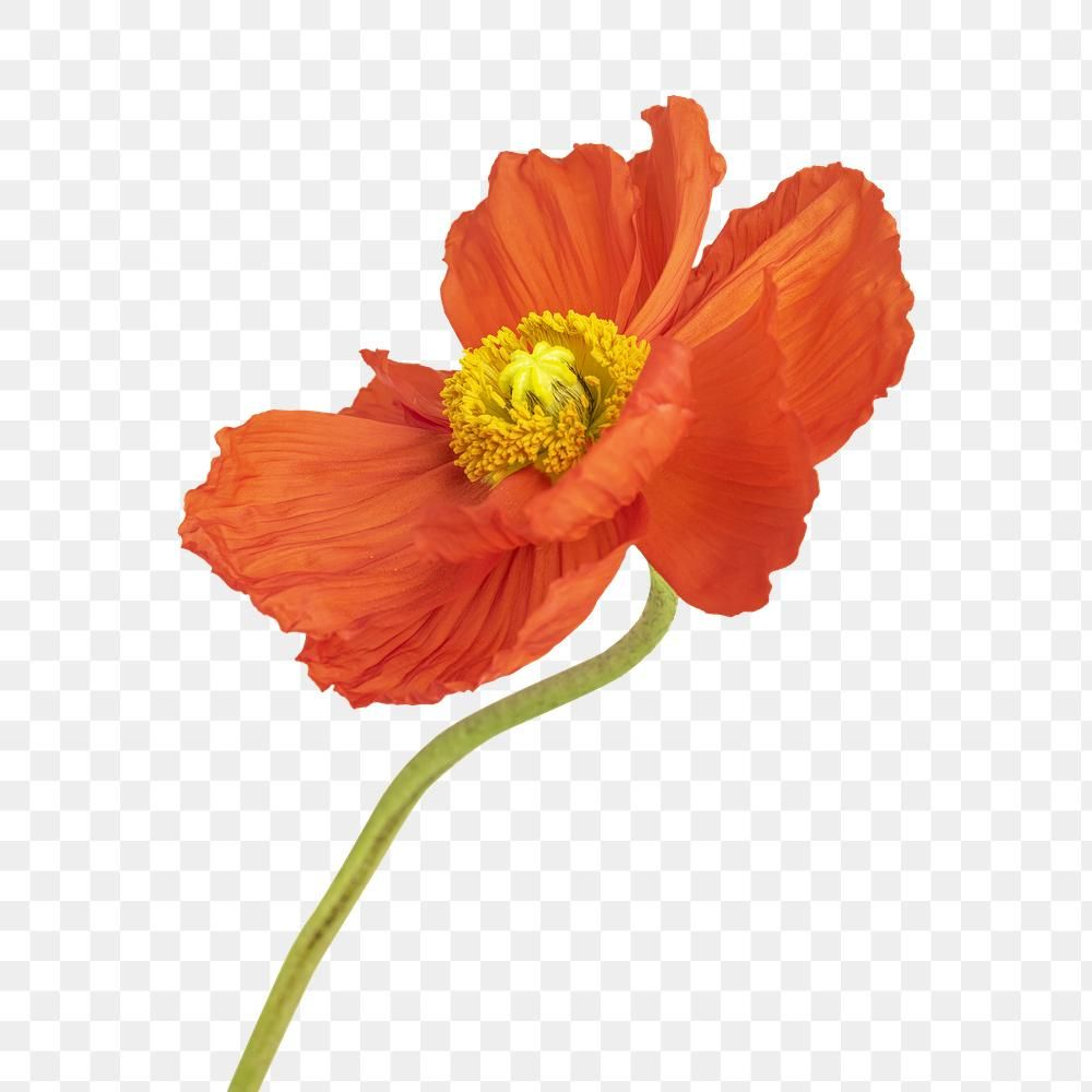 Download Premium Png Of Close Up Of Red Poppy Flower Transparent Png Poppy Flower Red Poppies Flowers