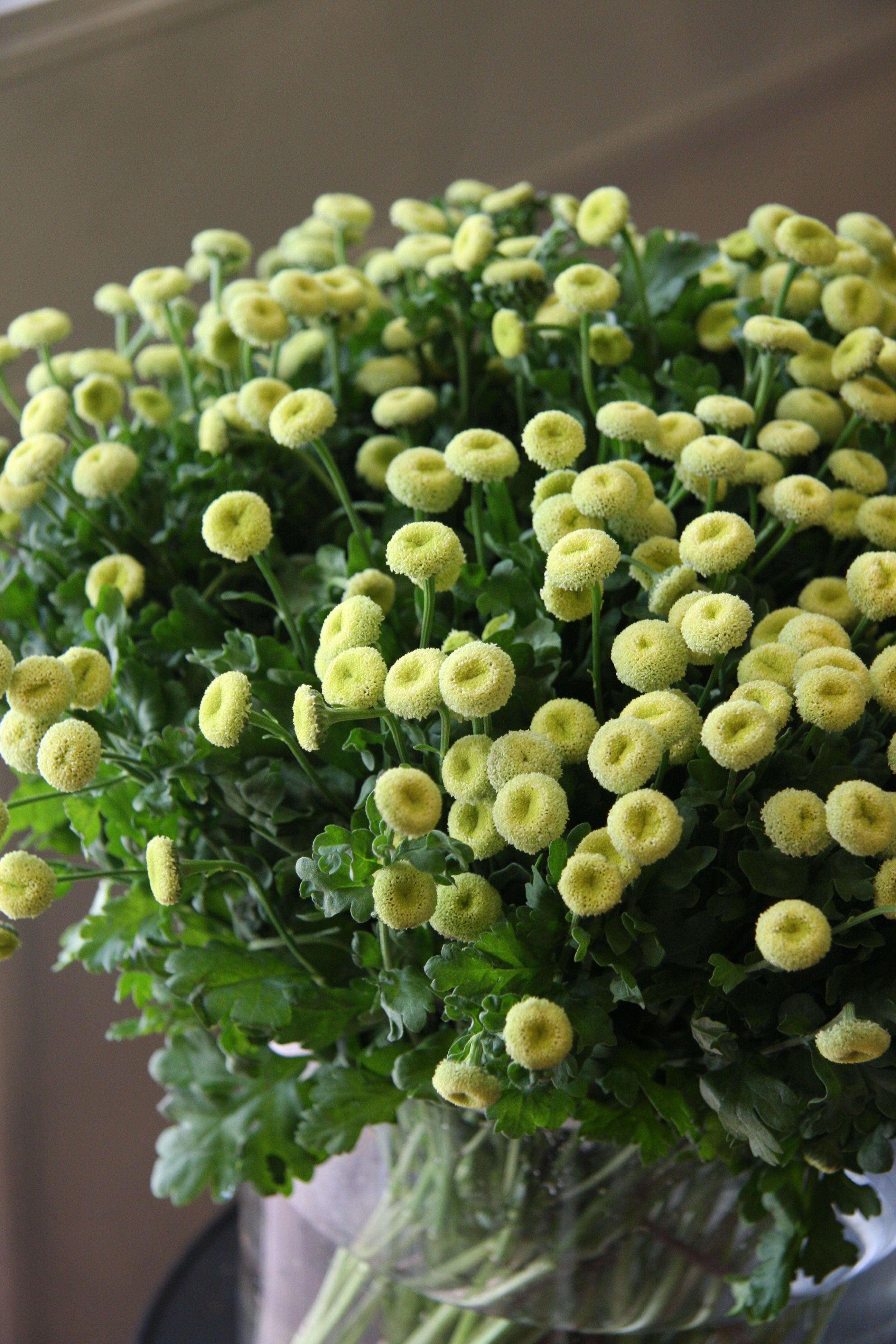 Matricaria green poco