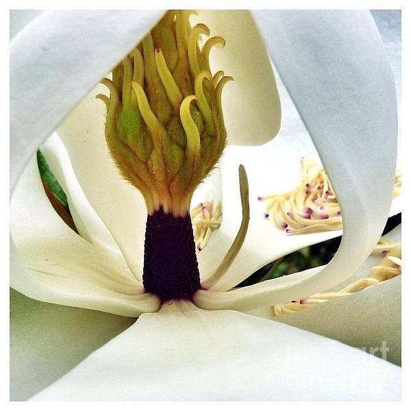 """SusanGarren on Twitter: """"New artwork for sale! - """"Inside Magnolia"""" - http://t.co/MR9ECaHWdN @fineartamerica http://t.co/JvZb7tnVW2"""""""