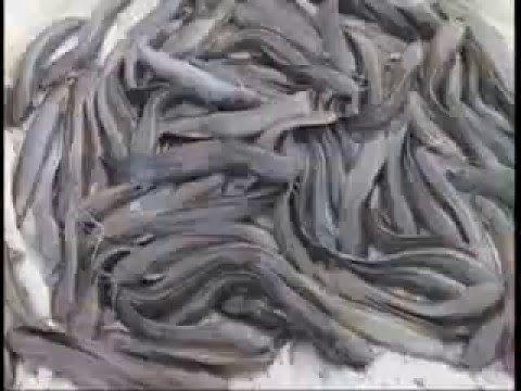 Catfish Farming India Peixes