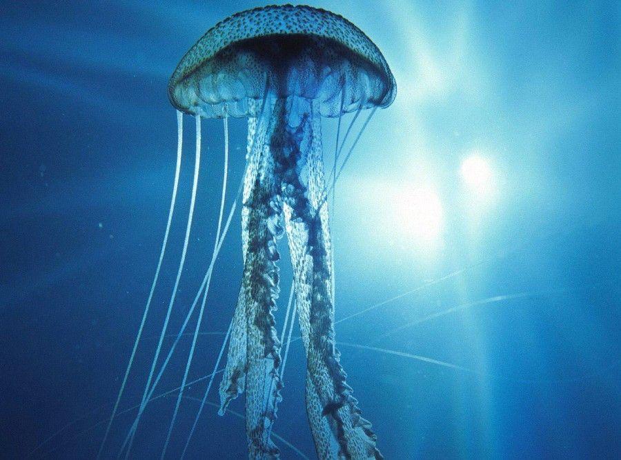 La FAO recomienda ahora comer medusas