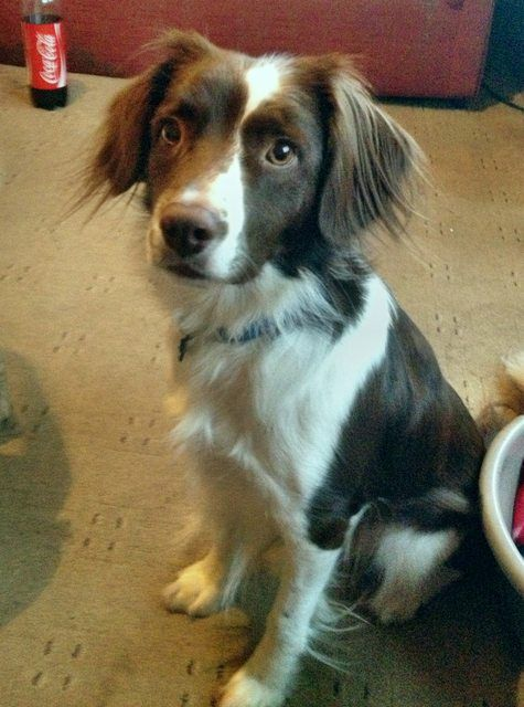 Monty 3 Year Old Male Collie Cross Spaniel Available For