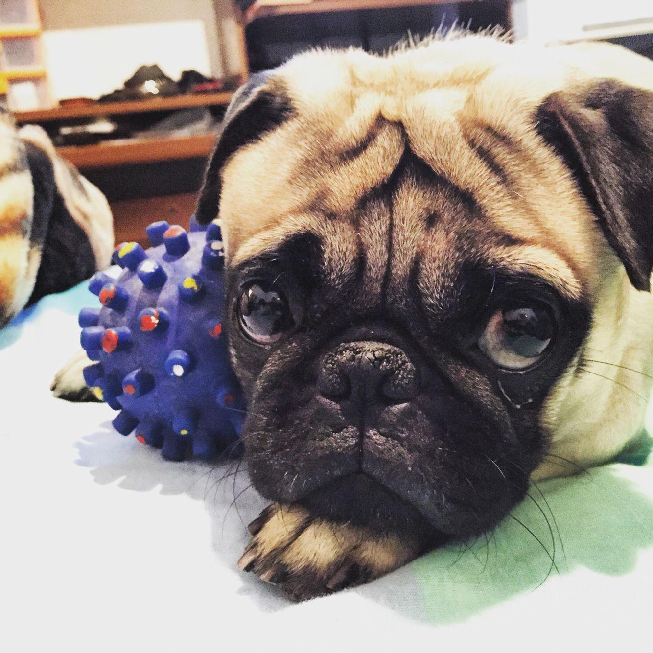 Ozzy #Pug