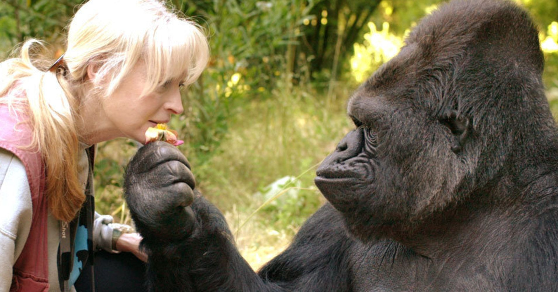 Koko The Talking Gorilla Who Learned Sign Language Dies At 46 Gorilla Sign Language Gorilla Koko Gorilla