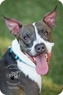 Chandler, AZ Italian Greyhound/Boston Terrier Mix. Meet