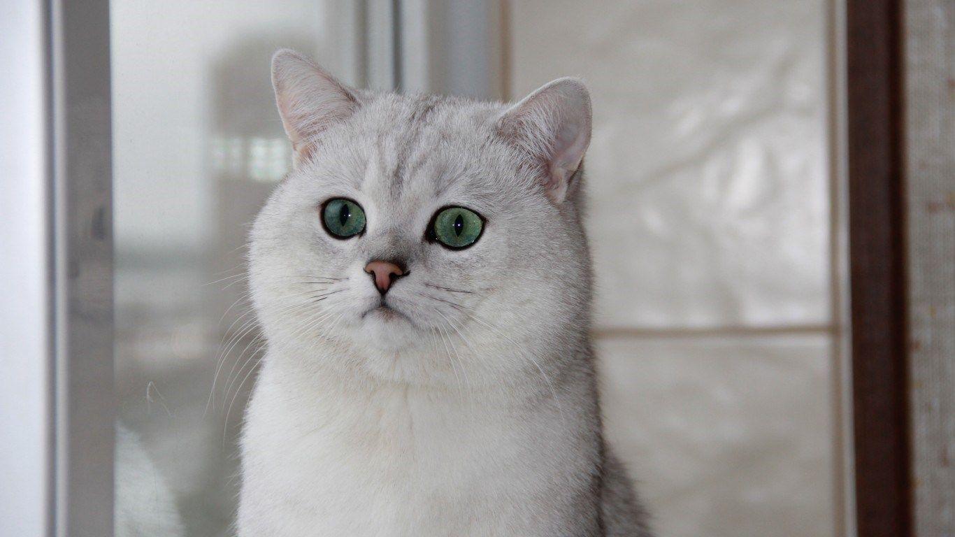 British Shorthair Cat Wallpaper Hd Cute Cats And Kittens