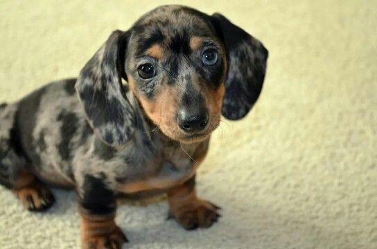 My Dapple Dachshund One Blue Eye One Brown Dapple Dachshund Dachshund Pets