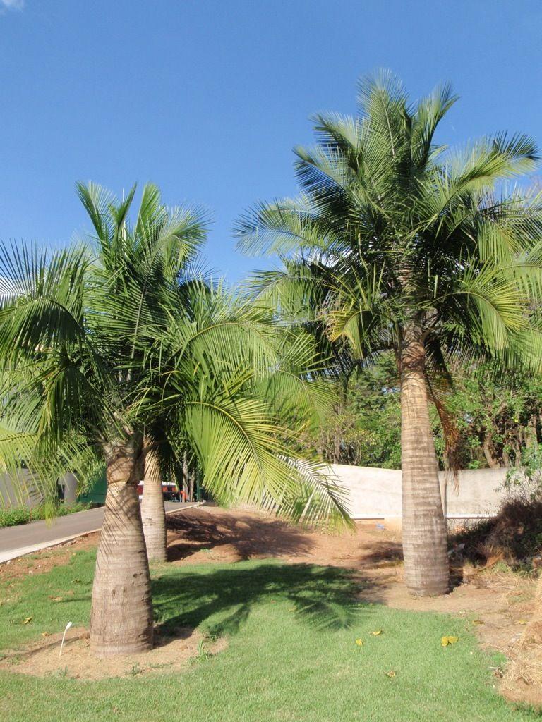 Majesty Palm Trees Palm Trees Pinterest Majesty Palm