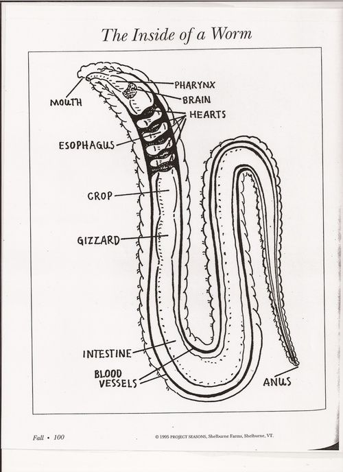 red wiggler earthworm anatomy - Google Search | Gardening ...