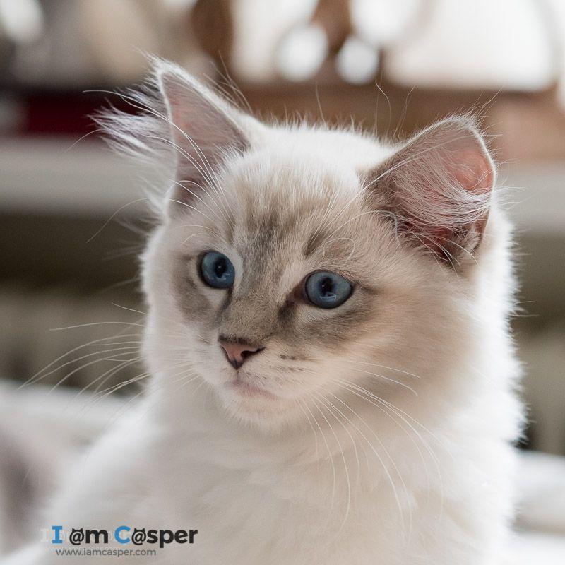 Ragdoll Breed Characteristics and Information Cats