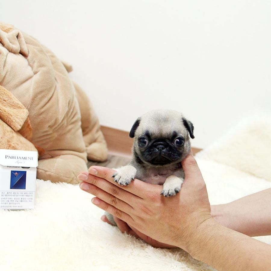 Teacup Pug Micropug 5lbs Fully Grown Could Be Yours For More