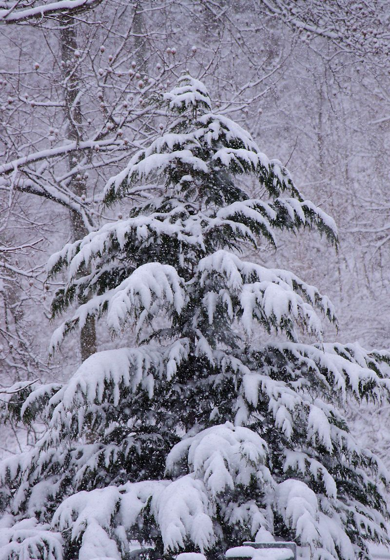 snow covered christmas tree in the north carolina. Black Bedroom Furniture Sets. Home Design Ideas