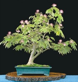 Also Known As The U0027silk Treeu0027 The Bonsai Mimosa Albizia Julibrissin Is A  Favorite
