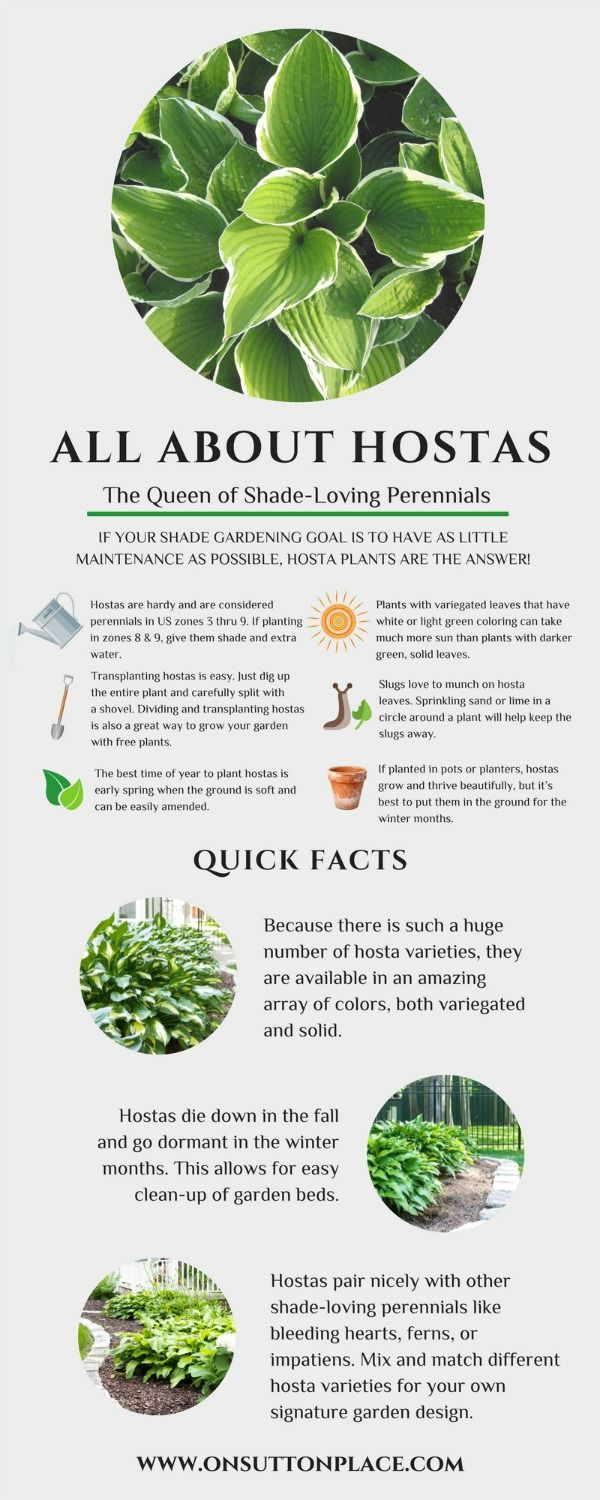 Hostas Care, Transplanting Hostas, Hosta Varieties & Infographic is part of Shade loving perennials - Tips for hostas care, transplanting hostas, hosta varieties and more  One of the most popular shadeloving perennials, hostas are super easy to grow!