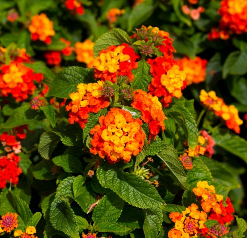 Lantana Pospolita Simon Red Lantana Plants Red