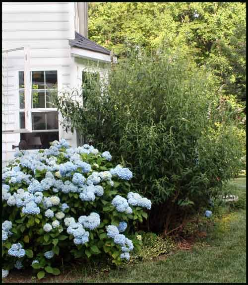 Hydrangea Bushes Butterfly Bush Hydrangea Bush Hydrangea