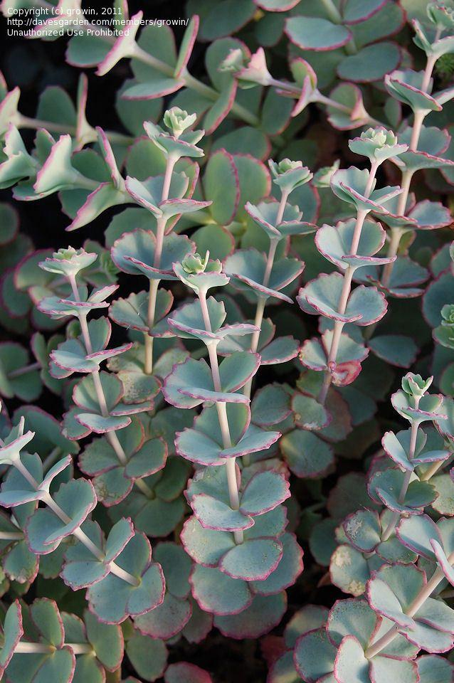Showy Stonecrop, Siebolds Stonecrop, October Daphne Sedum Sieboldii Plants-1241