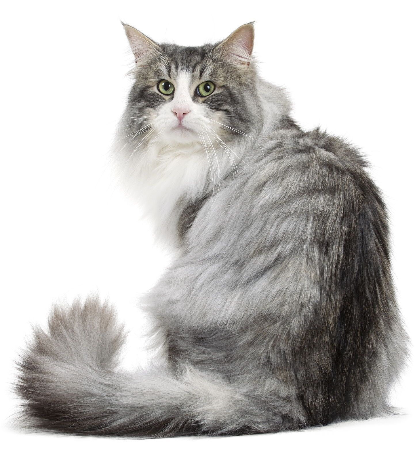 Norwegian Forest Cats You Will Love Catandkitten Norwegian Forest Cat Forest Cat Norwegian Forest Kittens