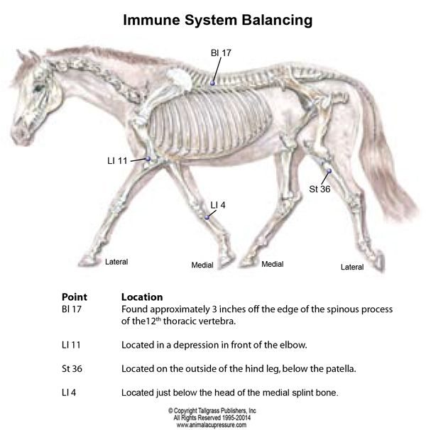 Horse immune system diagram schematic wiring diagram boost your horse s immune system with acupressure that other part rh pinterest com central a horses respiratory system horse circulatory system diagram ccuart Images
