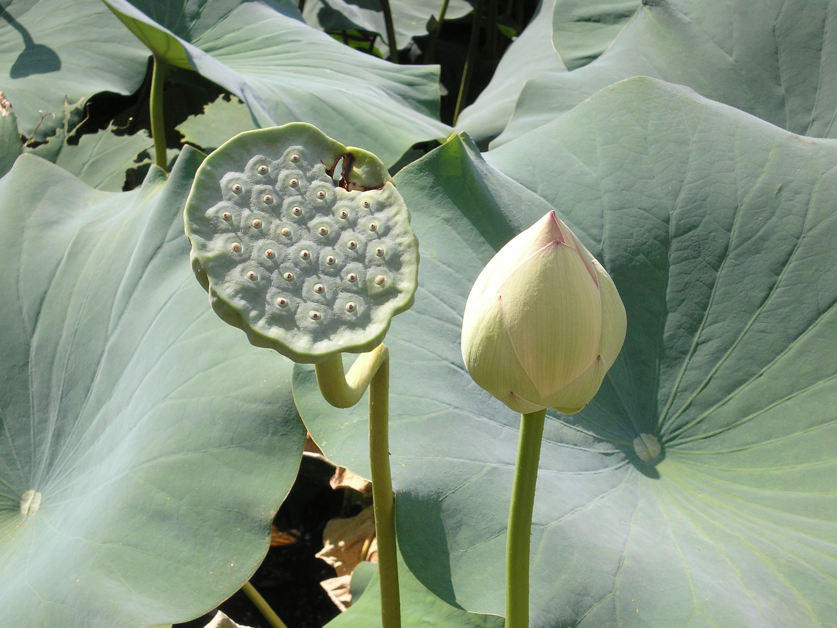 Lotus And Seed Pod At Chanticleer In My Garden Pinterest Gardens