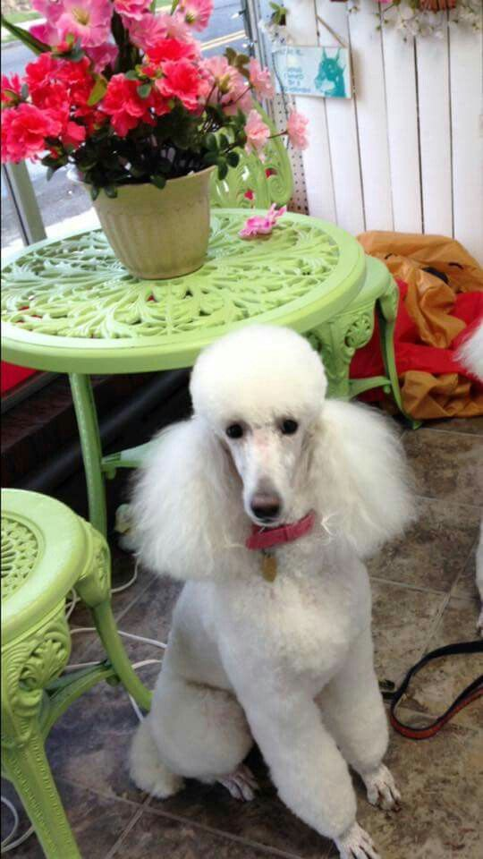 Pin By Randi Tarillion On Standard Poodles Poodle Dog Suit