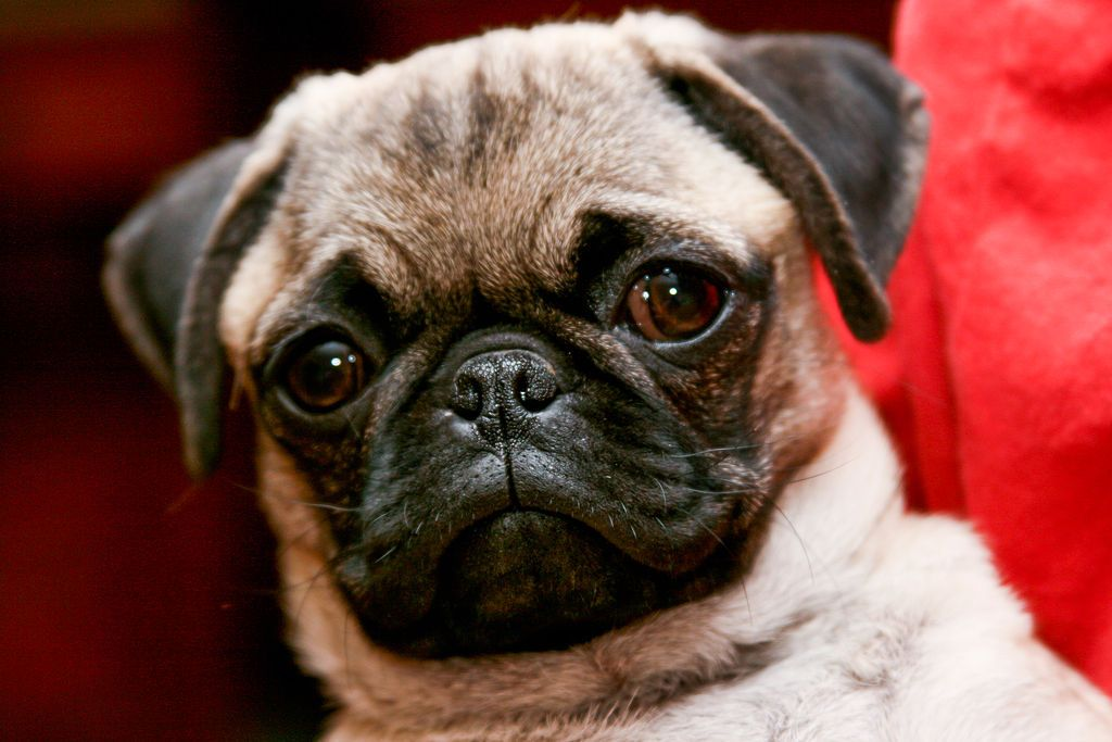 Pug Portrait Pug Wikipedia The Free Encyclopedia Free