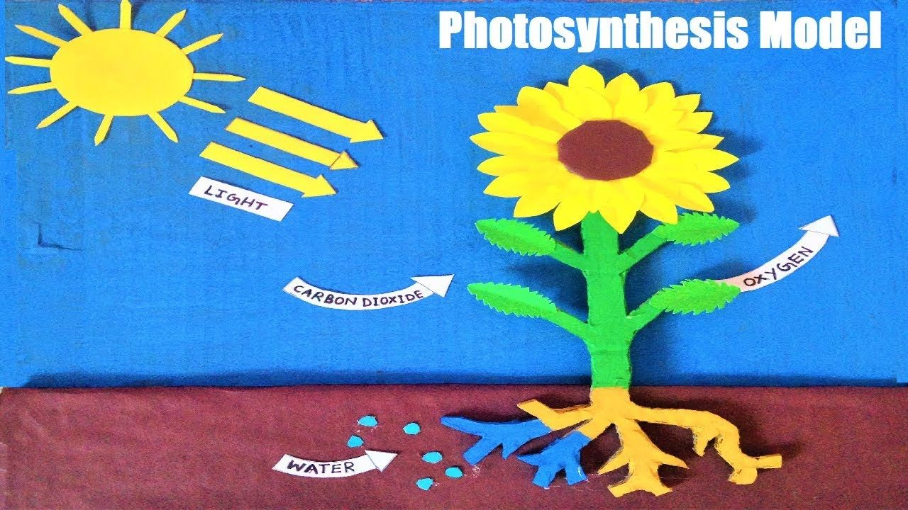 Photosynthesis Model in plants for school science