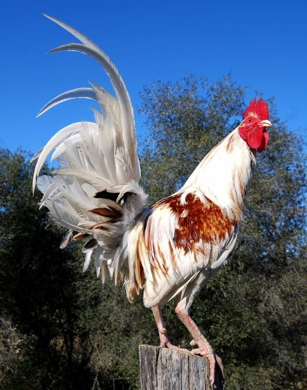 Red Pyle Chickens | Ultimate Fowl Forum - View topic - February Gamefowl Contest