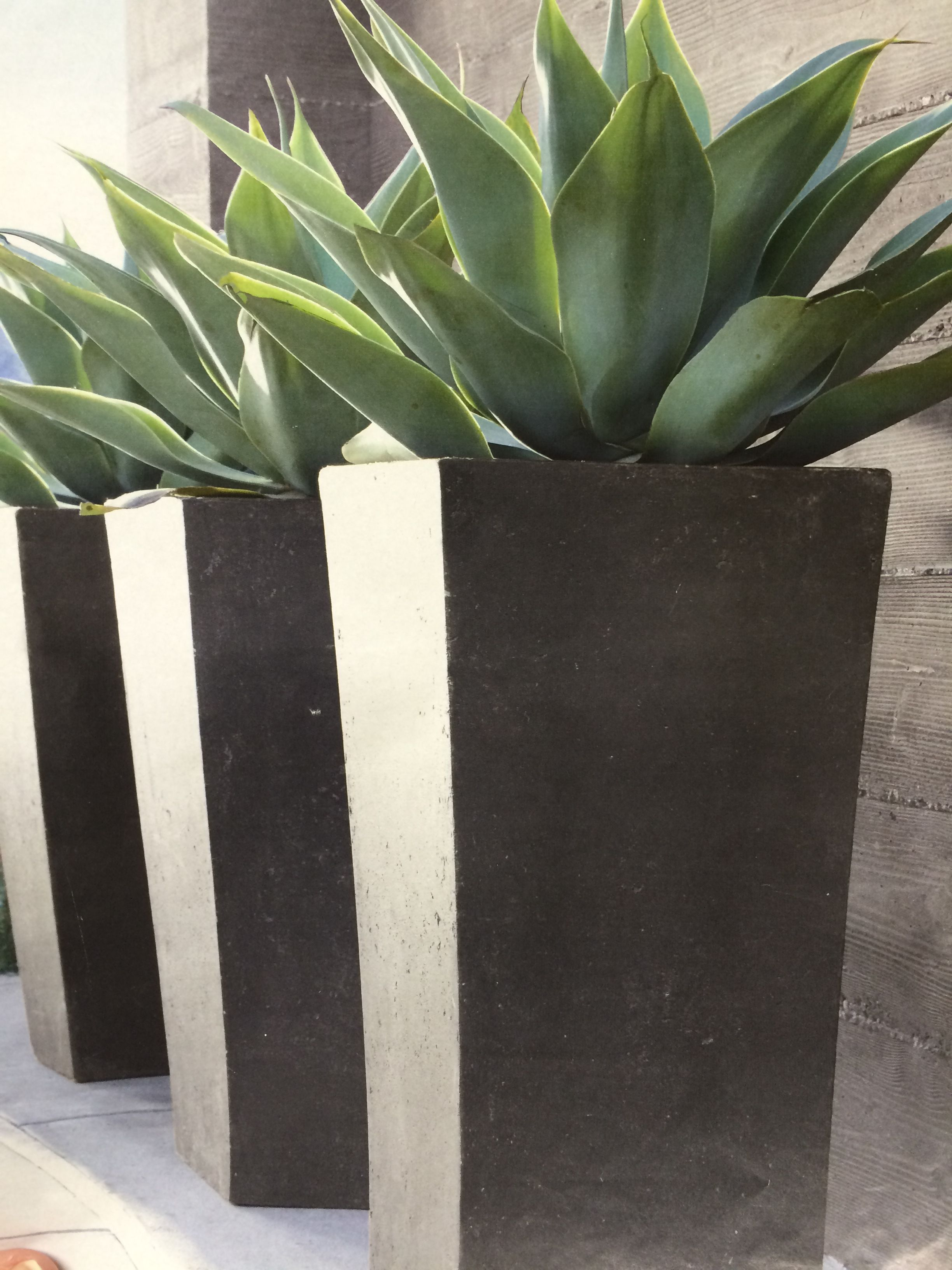 Agave In Tall Planter With Images