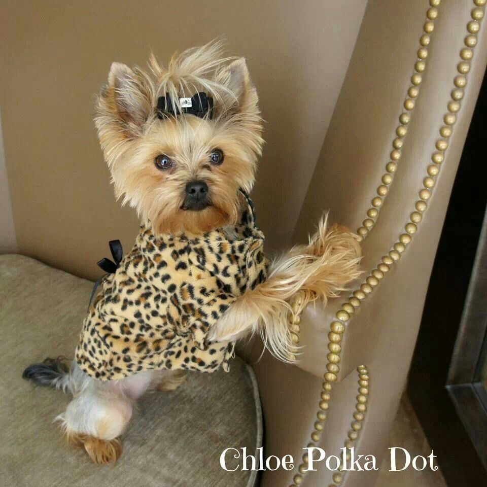small yorkie puppy cash s future girlfriend doggies dogs yorkie dogs 7106