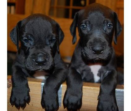 Great Dane puppies.  Awwww!!