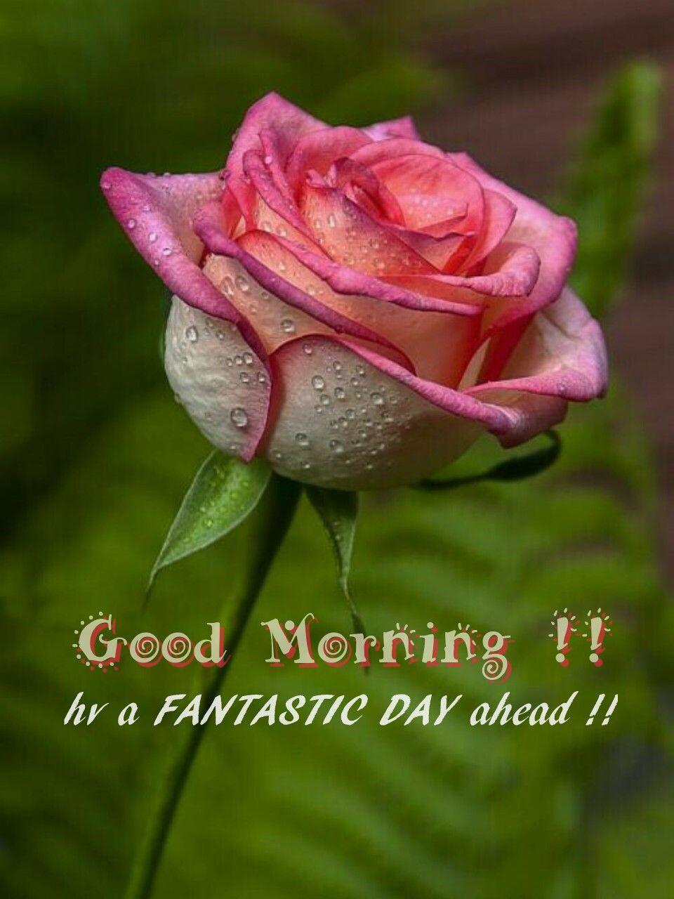 Good morning good morning flowers rose beautiful roses - Good morning rose image ...