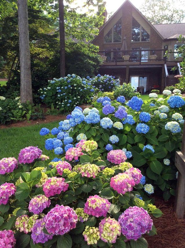 Hostas And Hydrangeas Finegardening Hydrangea Garden Hydrangea Landscaping Spring Garden