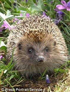 Hedgehogs are able to build their own shelters as long as they have a supply of…