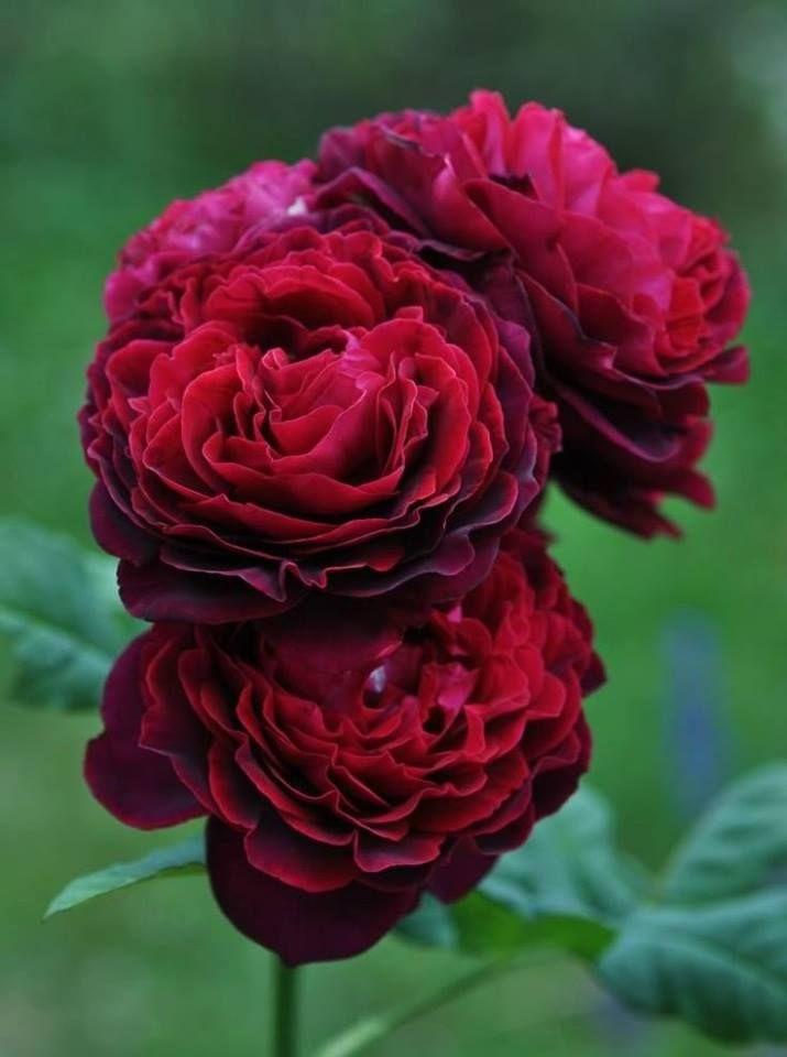 39 gr fin astrid von hardenberg 39 rose bred by hans j rgen. Black Bedroom Furniture Sets. Home Design Ideas