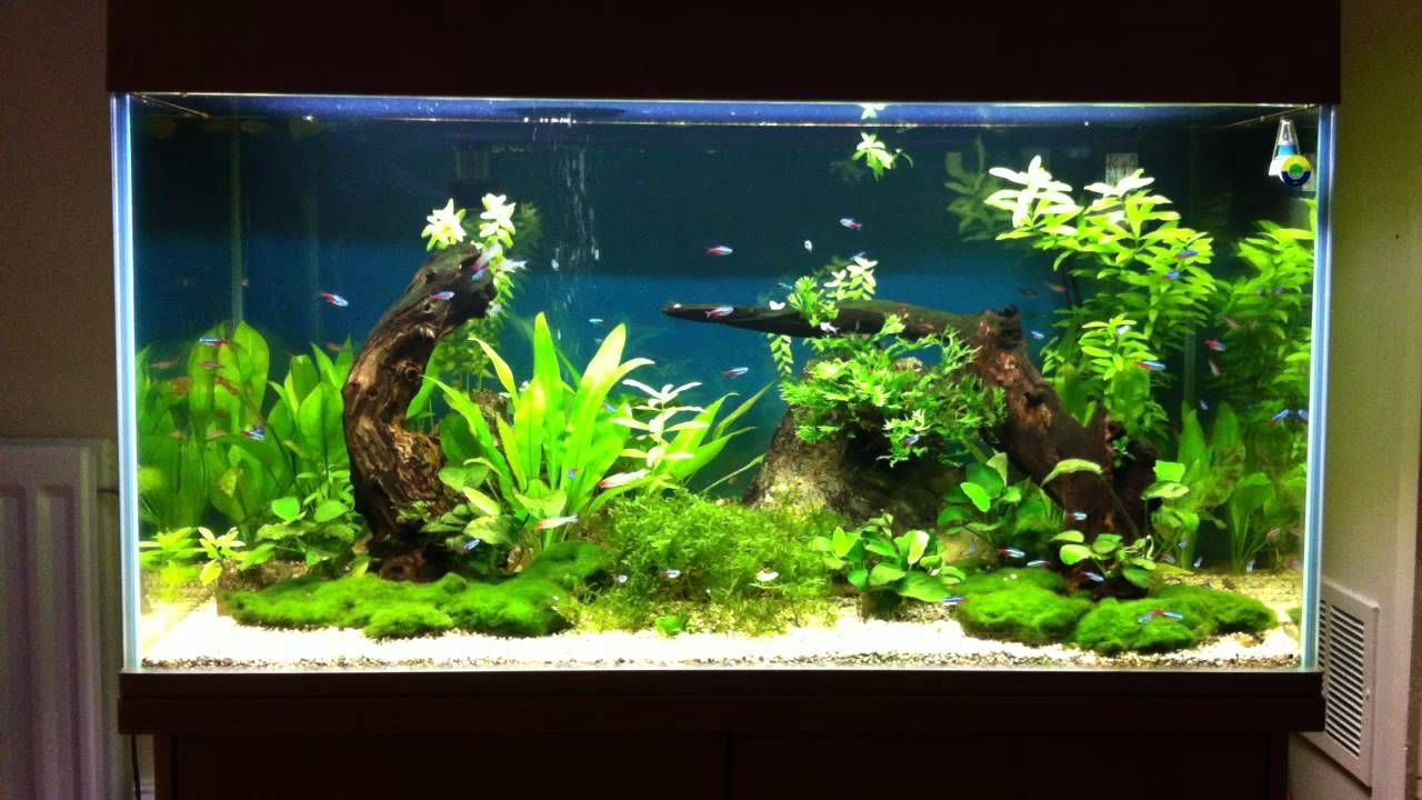 A Beautifully Decorated 55 Gallon Tetra Aquarium Very Beautiful Planted Fish Tank With Neon Tetras Swimming Inside It Tetr Aquarium Neon Tetra Aquarium Fish